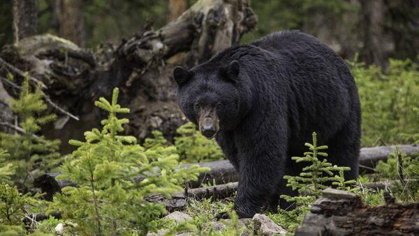 Un ours noir - Sputnik France
