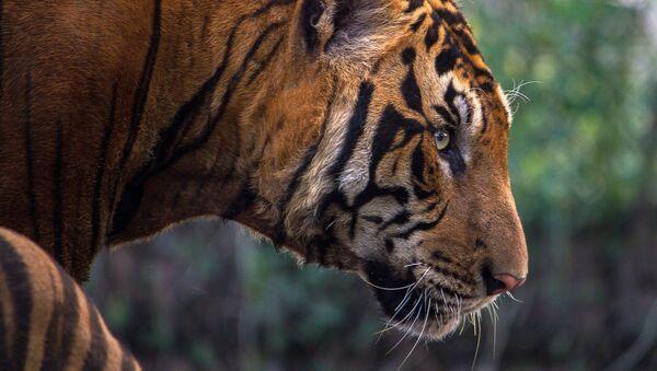 Un tigre du Bengale - Sputnik France