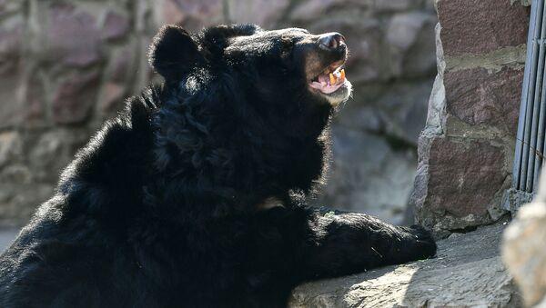 Un ours noir d'Asie - Sputnik France