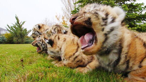 La journée internationale du tigre - Sputnik France