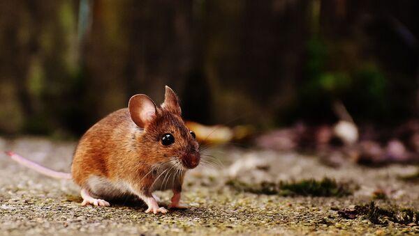 Une souris (image d'illustration) - Sputnik France