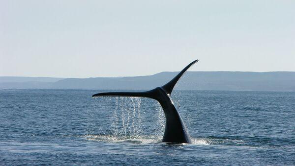Une queue de baleine (image d'illustration) - Sputnik France