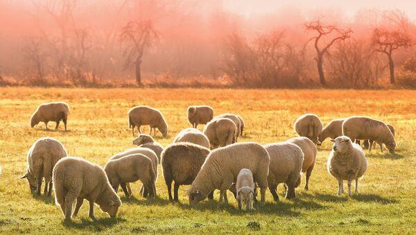 Des moutons au pâturage - Sputnik France
