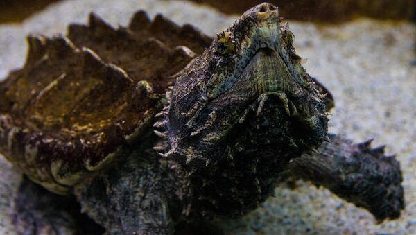 tortue alligator - Sputnik France