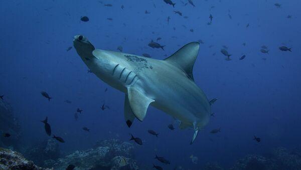 Un requin-marteau - Sputnik France