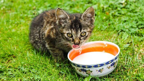 Un chat boit du lait (image d'illustration) - Sputnik France