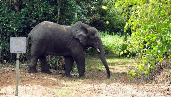 Un éléphant en Côte d'Ivoire - Sputnik France