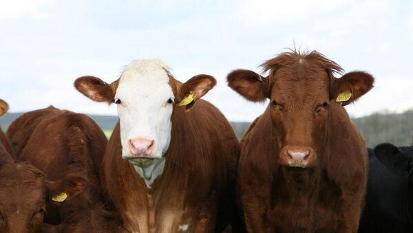 Des vaches - Sputnik France