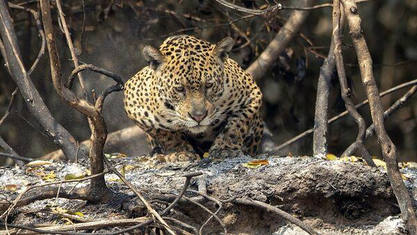 La faune du Brésil paie un lourd tribut aux feux de forêt   - Sputnik France