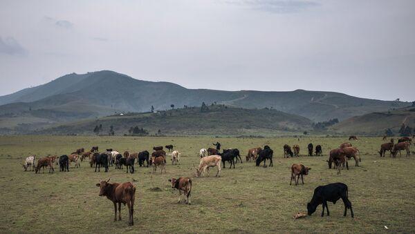 Un troupeau sur les terres de Minembwe, dans le Sud-Kivu en RDC - Sputnik France
