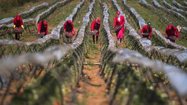 Des femmes ramassent des fraises dans la province de Kenitra, Maroc - Sputnik France