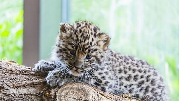 Un bébé léopard - Sputnik France