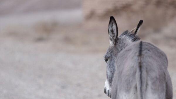 Un âne de dos - Sputnik France