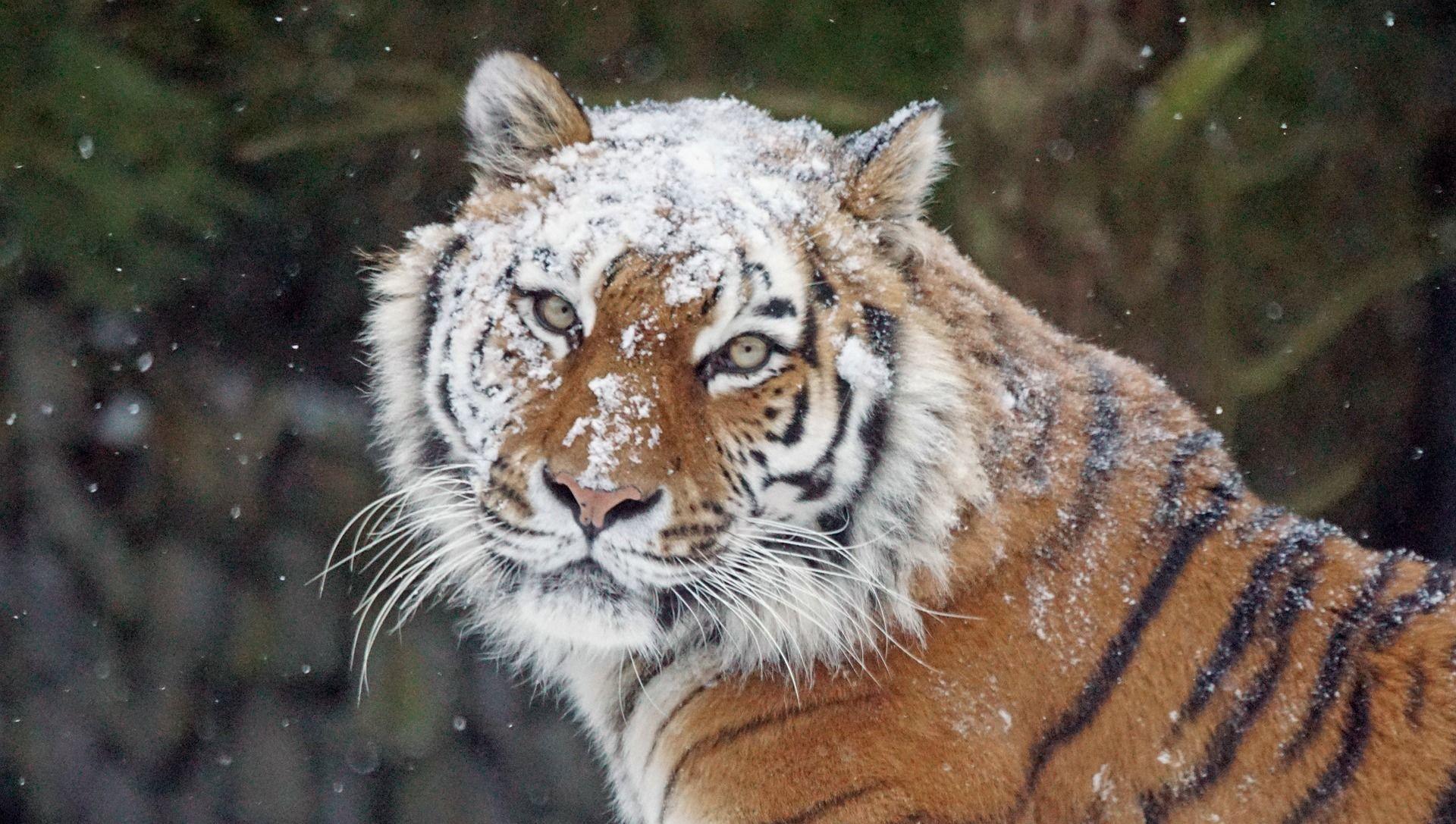 Un tigre en hiver - Sputnik France, 1920, 08.02.2021