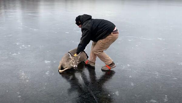 Sauvetage d'un chevreuil d'un lac gelé - Sputnik France
