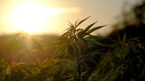 Un plant de cannabis - Sputnik France