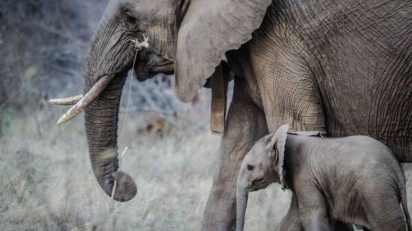 Un éléphant et son petit - Sputnik France