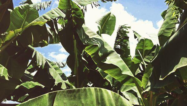 Plantation banane - Sputnik France