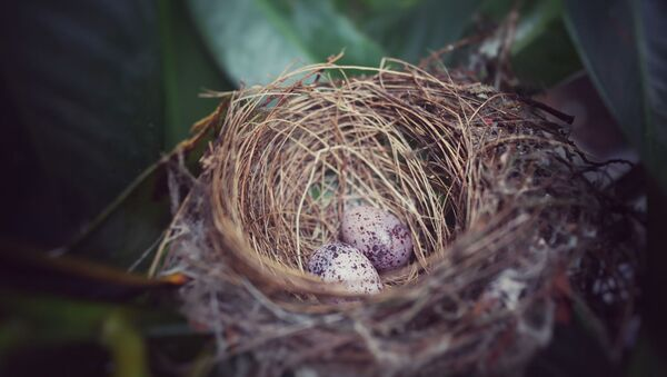 Un nid d'oiseau  - Sputnik France