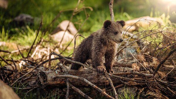 Dur d'être mère: une maman-ourse traverse la route avec ses oursons - Sputnik France