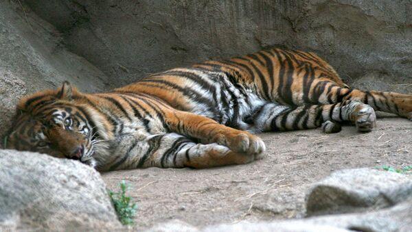 Un tigre de Sumatra (image d'illustration) - Sputnik France