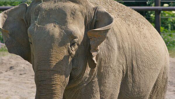 Un éléphant d'Asie (image d'illustration) - Sputnik France