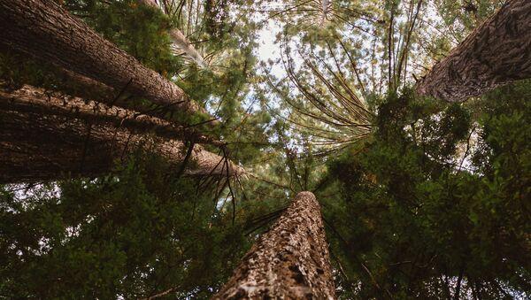 Des séquoias, image d'illustration - Sputnik France