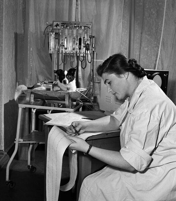 Le 3 novembre 1957, la chienne Laïka est envoyée dans l'espace à bord du deuxième satellite artificiel de la Terre. Elle mourra de chaleur cinq ou sept heures après le lancement. Le 19 août 1960, le vaisseau spatial Vostok avec deux chiennes à son bord est lancé depuis le cosmodrome de Baïkonour. Après avoir fait un vol orbital autour de la Terre, les astronautes à quatre pattes Belka et Strelka reviennent saines et sauves sur Terre.Sur la photo: préparation de Laïka pour le vol. - Sputnik France