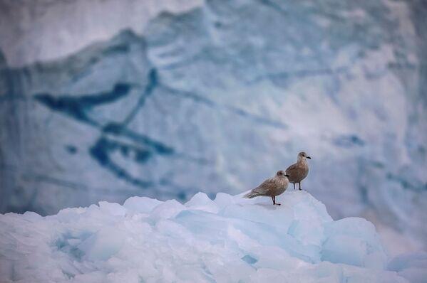 Ce glacier a au moins 100.000 ans, mais en raison du changement climatique il pourrait disparaître dans un avenir pas trop lointain.Sur la photo: mouettes sur le glacier Eqi Sermia au Groenland. - Sputnik France