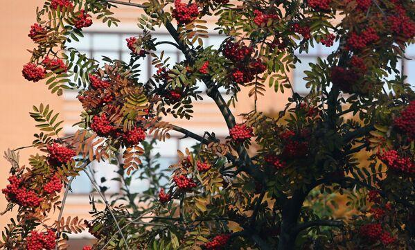 Pendant la journée, les températures atteignent 13 degrés et jusqu'à 15 degrés dans certains quartiers de la capitale.Sur la photo: sorbier dans un square avenue Leninski, à Moscou. - Sputnik France