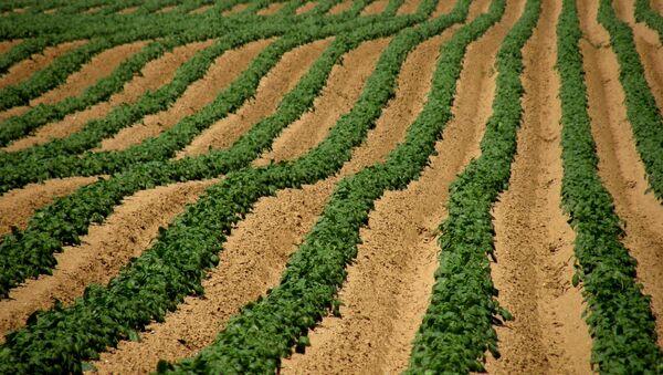 Champ de pommes de terre dans la région Pas-de-Calais - Sputnik France