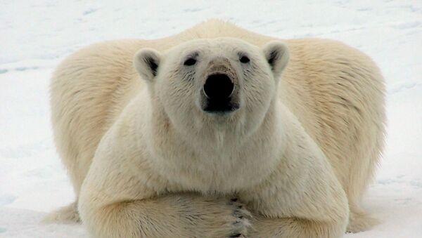 A polar bear watches a passing whaling crew near Barrow, Alaska, Monday, May 22, 2006 - Sputnik France