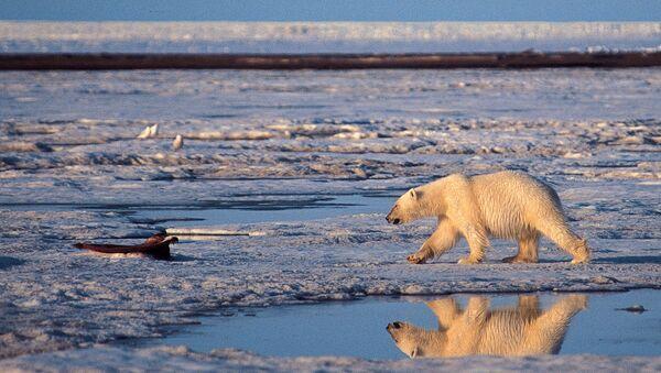 A polar bear in the Arctic National Wildlife Refuge - Sputnik France