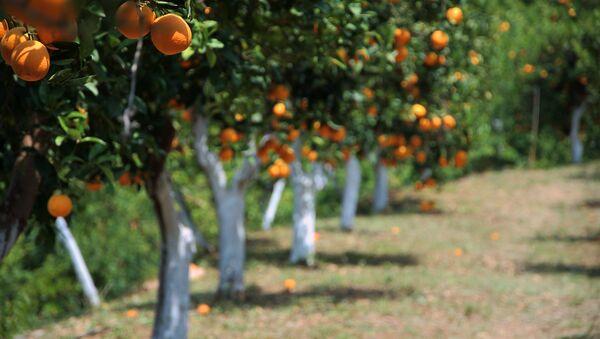Orange Grove in the Botanical Park and Gardens, Fournes, Crete - Sputnik France