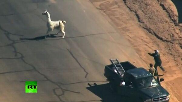 Etats-Unis: chasse aux lamas dans les rues de Phoenix - Sputnik France