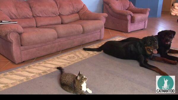 Un chat imite deux rottweilers - Sputnik France