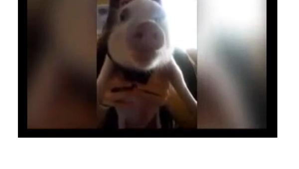 Un petit cochon féru de chips - Sputnik France