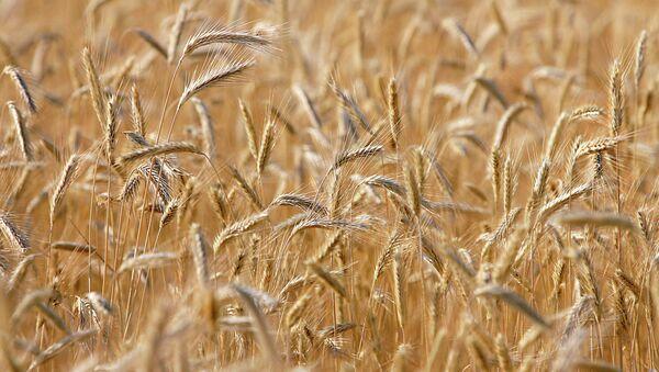 Пшеничное поле - Sputnik France