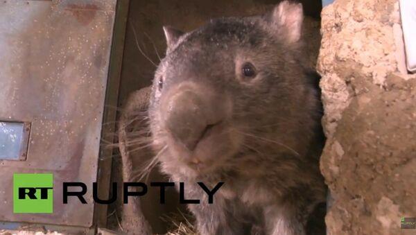 Patrick, le wombat le plus vieux du monde - Sputnik France