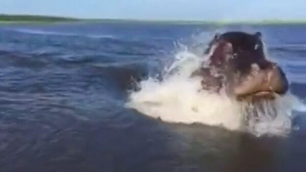 Un hippopotame fait une course poursuite - Sputnik France