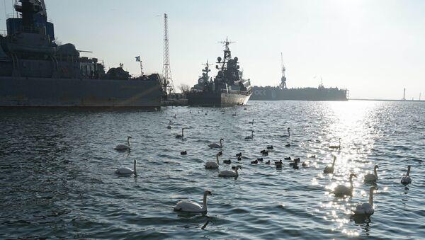 Зимовка стаи лебедей в военной гавани города Балтийска - Sputnik France