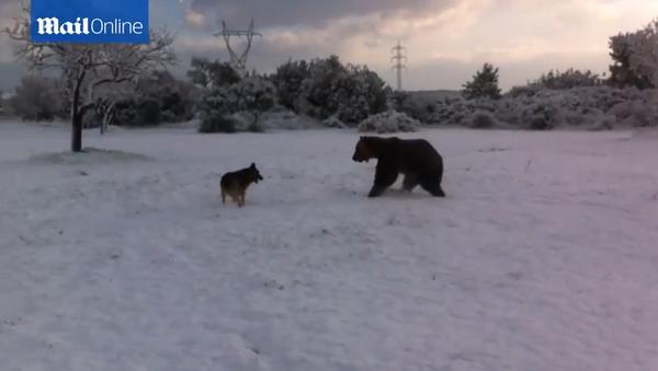 Un ours joue dans la neige - Sputnik France