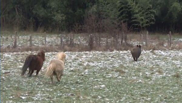 Des poneys prennent en chasse un sanglier - Sputnik France