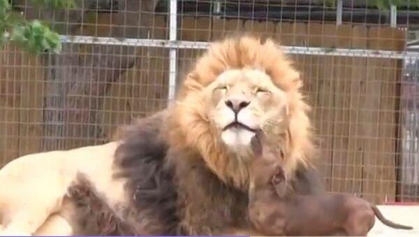 Un chien nettoie les dents d'un lion - Sputnik France