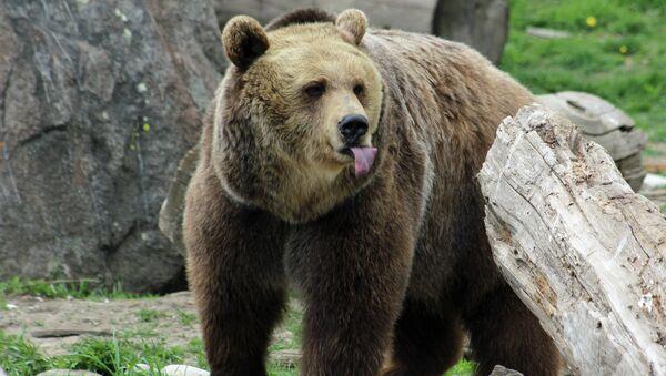 Grizzly Bear Rescue & Education Sanctuary in Bozeman, Montana - Sputnik France