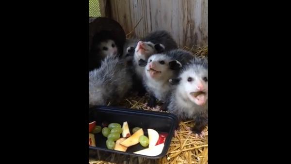 Des bébés opossums à croquer - Sputnik France