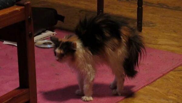 Le chat le plus hérissé au monde - Sputnik France