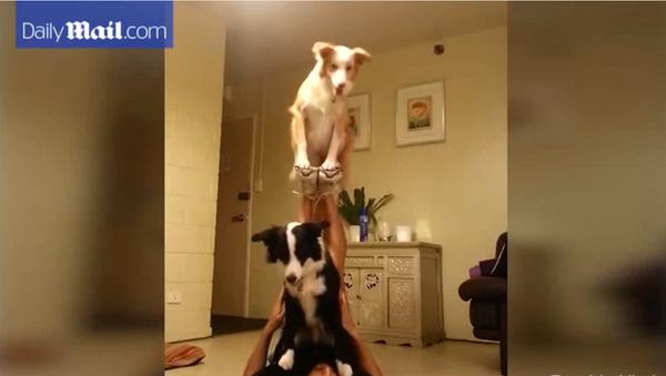 Deux chiens acrobates - Sputnik France
