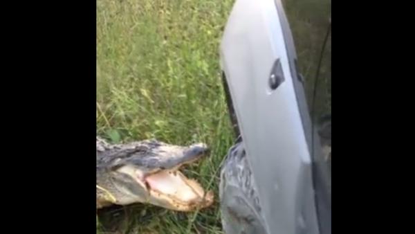 Un alligator hostile aux camions - Sputnik France