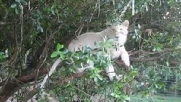 Un lion se repose dans un arbre - Sputnik France